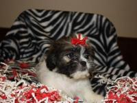 Presley, is a Cute Adorable Female Shih Tzu. She's AKC