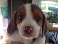 Short leg beagle puppies. 3 males and 3 females. 1st