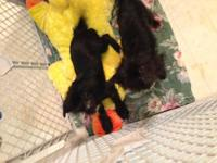 Two male Chorkie puppies were born 7/13/12 and are