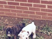 Cute & adorable CKC registered Boxer puppies. I have