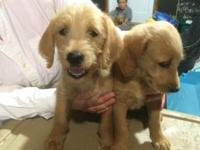Family-raised Labradoodle pups. Adorable! Freindly Born
