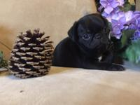 Cute & adorable Pug puppies are ready for their new