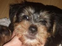 Yorkshire Terrior Teddy Bear Puppies. Liter of 3 young