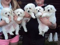 i have 3 boys and 2 girls pedigree Bichon Frise puppies