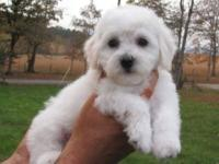 Meet our adorable litter of Bichon Frise puppies. They