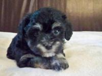 I have a charming black and white Havanese male looking