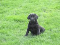 AKC Girl Black Lab Young puppy. Really adorable,