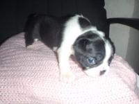 akc female boston puppy I only have one left out 5 she