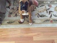 Charming 10 weeks aged pugilist young puppy available,