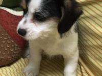 CALL/TEXT  Cavalier King Charles Spaniel.Males and