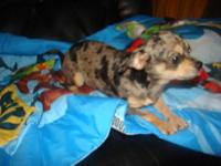 HI FOR SALE: I HAVE A FEMALE BLUE MERLE CHIHUAHUA SHE