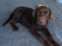 2 cute chocolate Labrador retriever puppies, 15 weeks