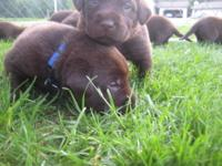 I have 10 cute little chocolate lab puppies that need a
