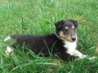 We have 3 healthy AKC Collie Puppies (Puppy) available