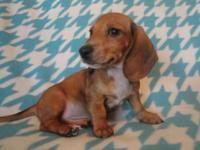 We have an adorable mini dachshund puppy for sale.