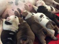 I have five newborn adorable English Bulldog puppies