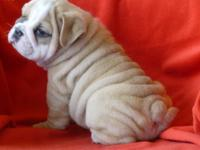 AKC English Bulldog puppies. Champion Bloodlines..2