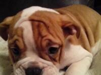 we have 7 English bulldog puppies that are fawn and