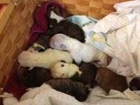 English Bulldog Puppies , AKC - Born on March 7,2013.