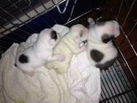 AKC English Bulldog Puppies: We have two females left ,