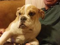 Good chance to have a Quad mini English Bulldog. We