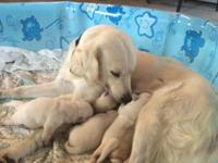 We have male and female English Cream Golden Retriever