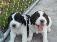 Have a litter of 4 week old AKC registered English