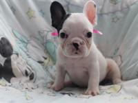 Beautiful pied female french bulldog. All Vaccines up