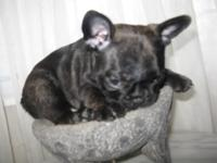 AKC FRENCH BULLDOG BLUE CARRIER PUPPY MALE BRINDLE
