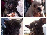 AKC French Bulldog Puppies for Sale 4 months old, Fully