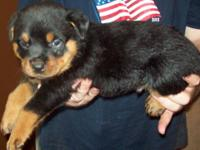 Cute AKC German Rottweiler Pups Great companions,