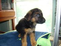 adorable 2 german shepard females 7 weeks old, home