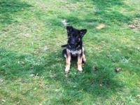 One AKC german shepherd female puppy left. The puppies
