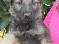 Beautiful litter of Sable color German Shepherd