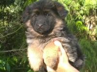 One lovely AKC female left. She is coming from a high