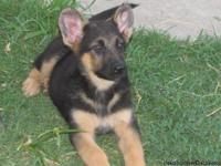 We have a German Shepherd Puppy 1 male. He is healthy