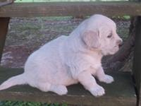 AKC Golden Retriever Male pup born May 20 and available