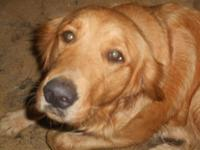 AKC Registered Golden Retriever Puppies born April 24,