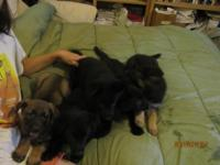 Pure bread/AKC litter registered german shepherd pups