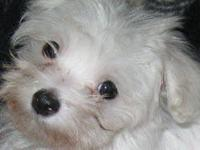 Cute AKC Male Maltese 14 weeks old. He weighs about 2