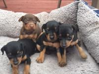 4 Pure Bred Miniature Pinscher Puppies -AKC Registered