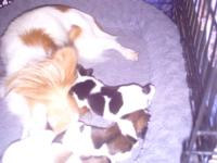 I have 3 beautiful Papillon boys who turn 4 weeks. The