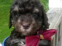 Chocolate Phantom male Toy Poodle young puppy. Born