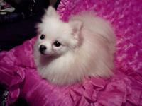 Tiny tea cup ivory colored Pomeranian. She is just over