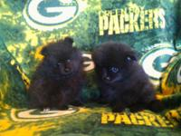 Adorable pomeranian puppies have arrived 11/3 from my