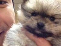 Very happy and adorable female Pom. Fawn in color,