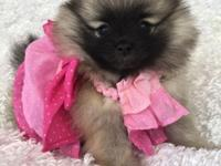 8 weeks old very small AKC Pomeranian cute puppies Very