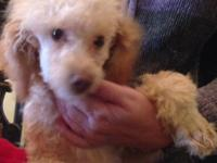 Beautiful purebred toy poodle female puppies, AKC