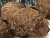 Beautiful AKC red male toy poodles puppies that were