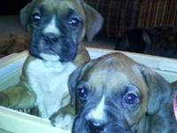 Cute Boxer pup born 10.28.12. One Fawn Female left. Vet